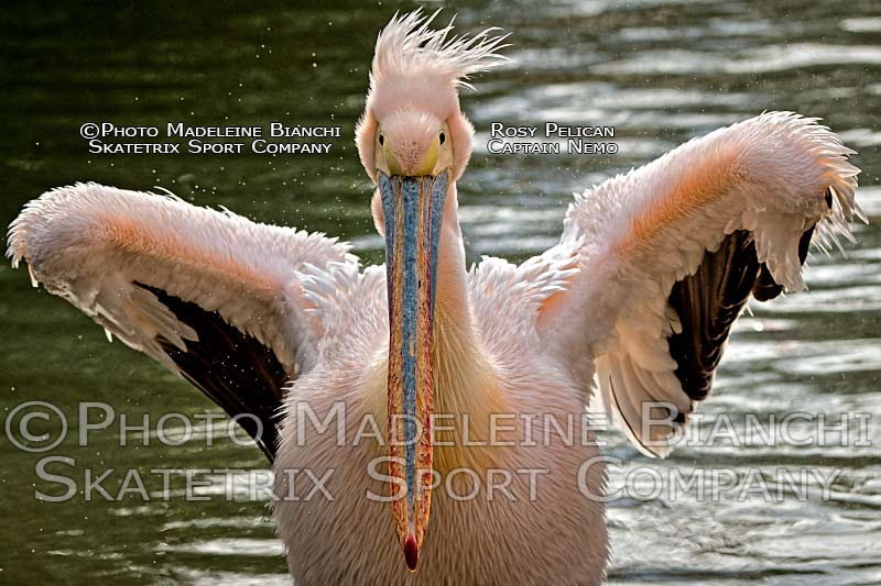 0220_rosy_pelican_captain_nemo_wings_stormy_hdr_D4S7145.jpg