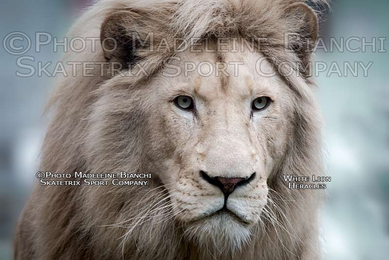 Apr 09 - 2016 - White Lion Male HERACLES