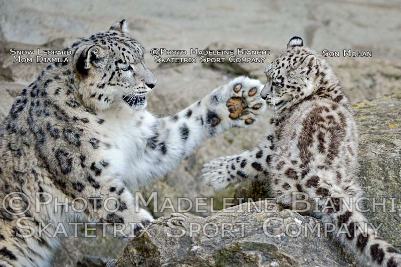 Apr 17 - 2016 - Snow Leopard MOHAN and MOMMY