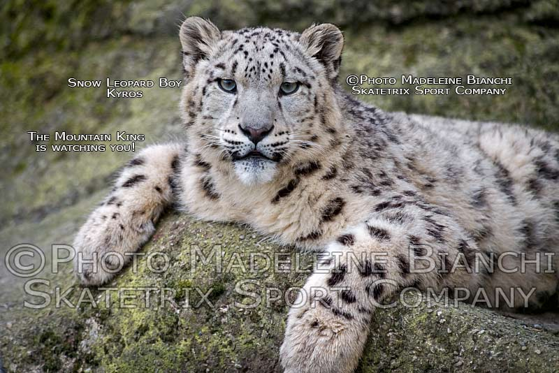 0423_snow_leopard_kyros_lie_rock_paws_hdr_ND50376.jpg