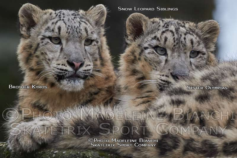 Apr 28 - 2016 - Snow Leopard KYROS and Sister OLYMPIAS
