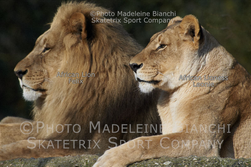 May 12 - 2016 - African Lion Parents LEONIE and FELIX