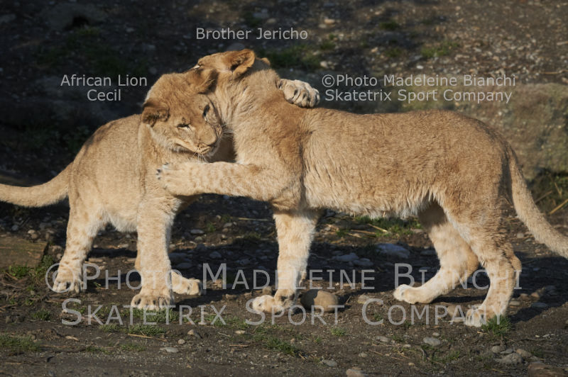 0516_african_lion_brothers_cecil_jericho_hugs_D4S7208.jpg