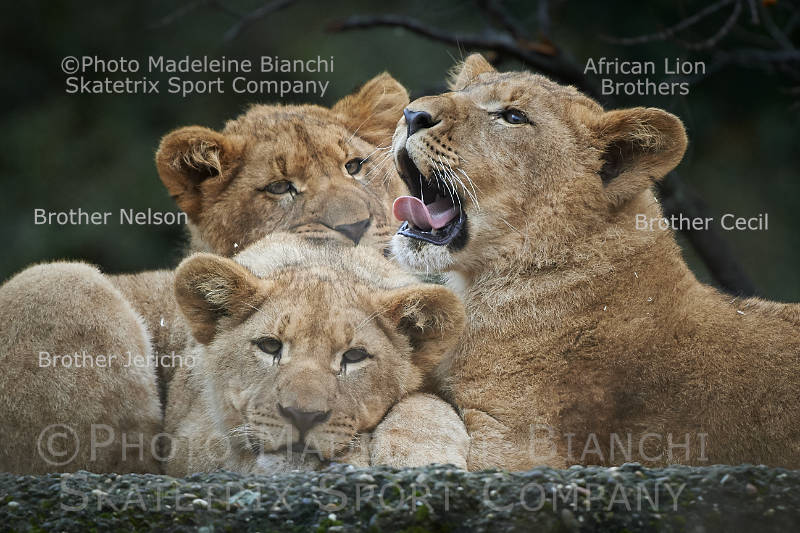 Jun 10 - 2016 - African Lion Brothers CECIL, JERICHO and NELSON