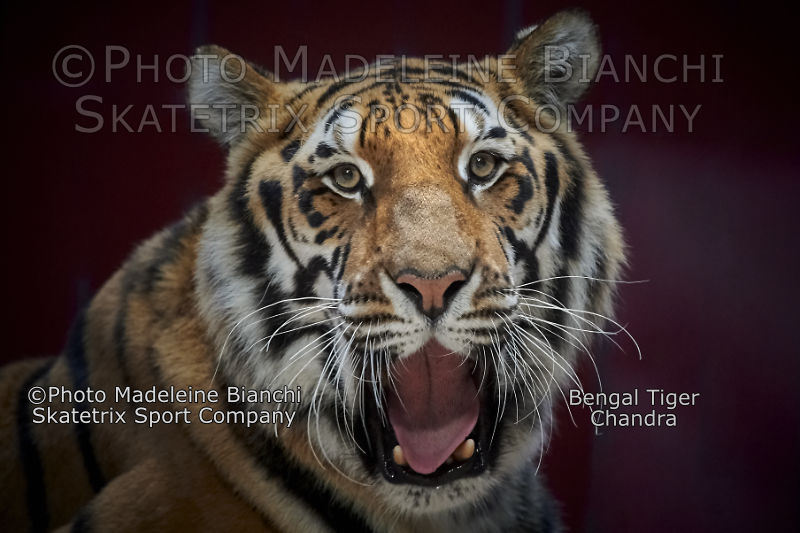 Bengal Tiger Male CHANDRA - we all live in an universe full of colors!