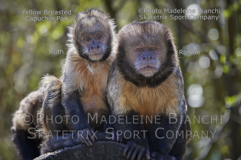 Jun 23 - 2016 - Yellow Breasted Capuchins RUTH and RONNY