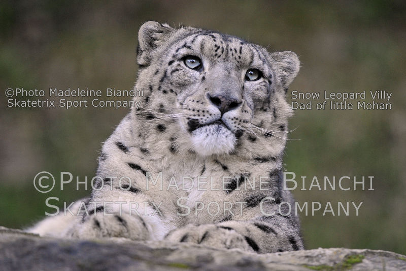 Oct 28 - 2016 - Snow Leopard VILLY - a highly endangered animal species!