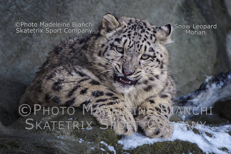 Nov 21 - 2016 - Snow Leopard MOHAN - do you see the writing on the wall?