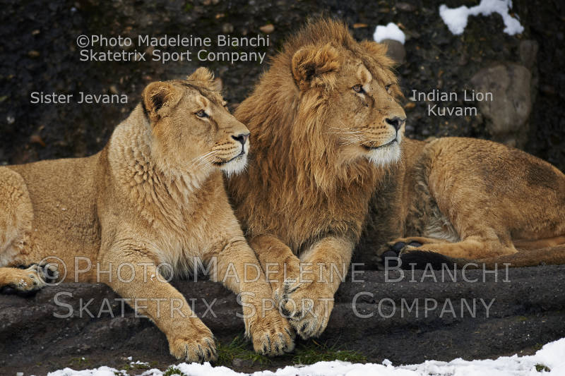 Nov 23 - 2016 - Indian Lion Siblings - Lions know solidarity, Swiss not!