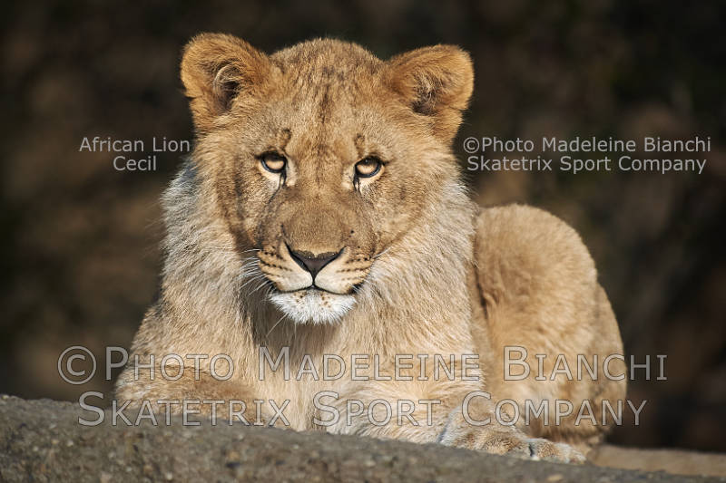 Dec 14 - 2016 - African Lion Tot CECIL - little Lion Brother is watching you!