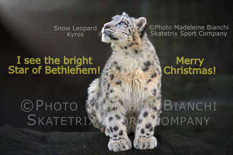 Snow Leopard KYROS - a sweet little Christmas Angel!