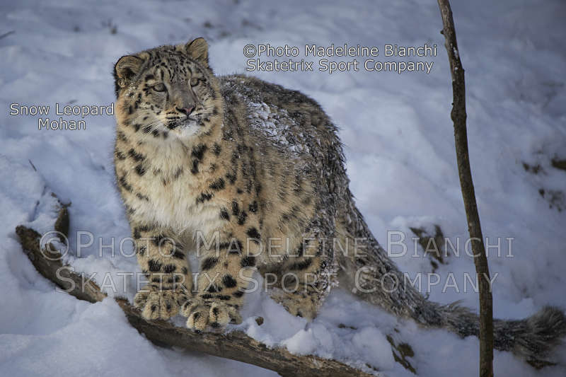 Jan 24 - 2017 - Snow Leopard MOHAN - untainted child of nature with sound mind!