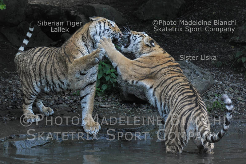 Feb 16 - 2017 - SIBERIAN TIGERS - If necessary we fight remorselessly!