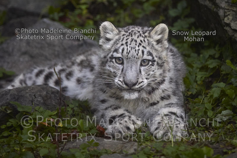 Feb 22 - 2017 - Snow Leopard Baby MOHAN - a perspicacious little fellow!