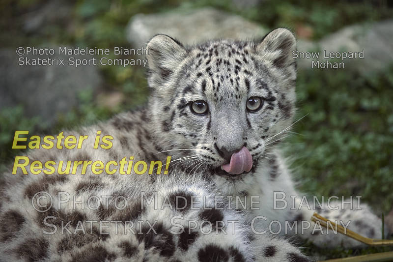 Snow Leopard Baby MOHAN -  ask profound questions!
