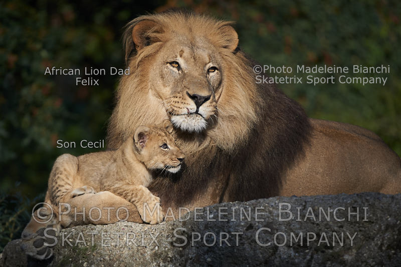 African Lion Daddy FELIX with Little Son CECIL in a little earthly Paradise!