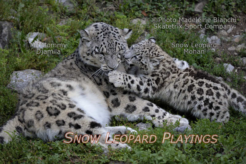 Snow Leopard Baby MOHAN - I pinch Mommy in her cheek!