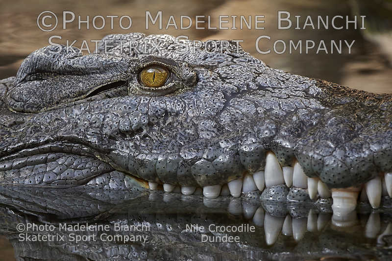 Nile Crocodile DUNDEE - as per Winston Churchill I eat also appeasers!