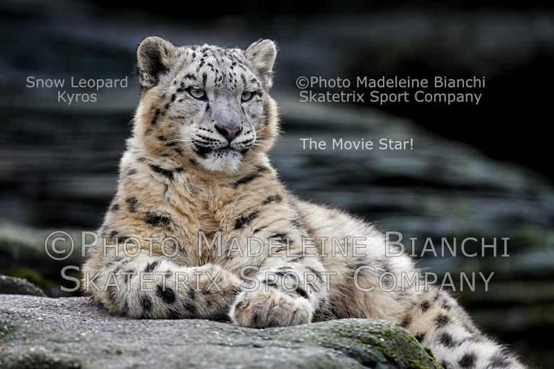 Snow Leopard KYROS - Americans! Let's have today some fun!