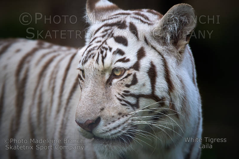 White Tigress LAILA - Dedicated to politicians and their stupid voters