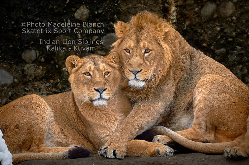 Indian Lion Siblings - A message of hope by Fyodor Dostoevsky!
