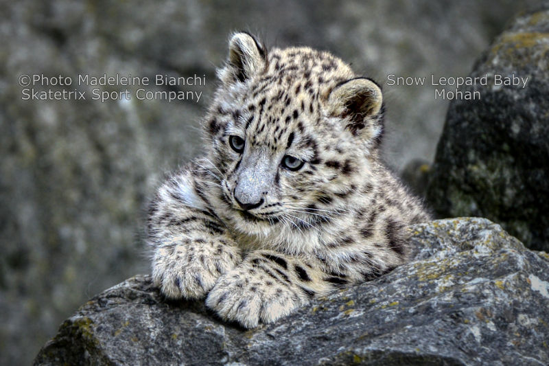 Little Snow Leopard MOHAN - My funny address to the Labor Day, the May 1st!