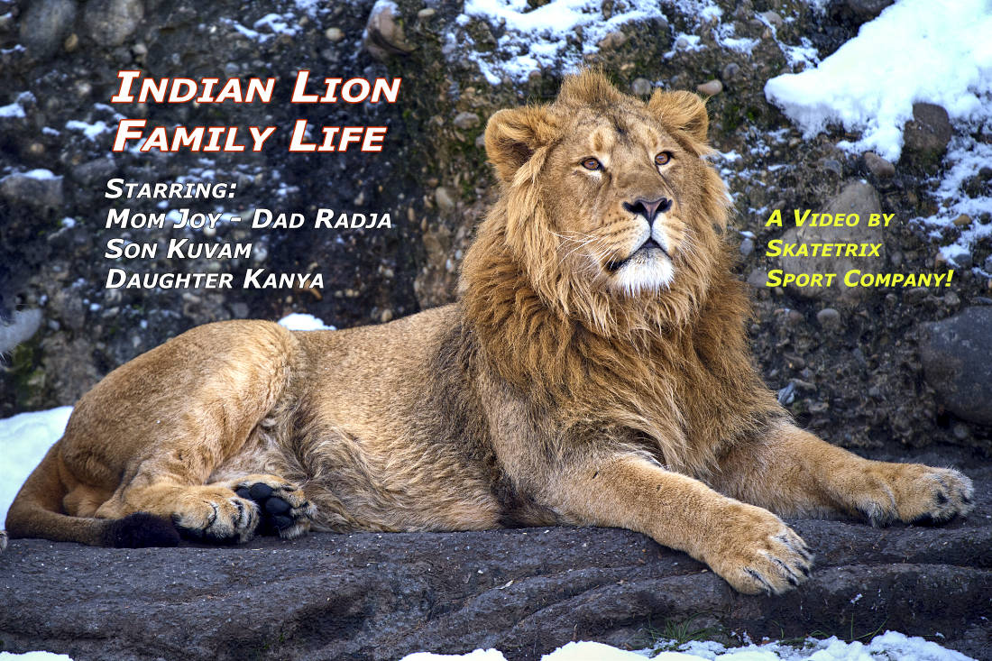 Video: INDIAN LION - FAMILY LIFE! Indian Lion Mom JOY, Dad RADJA, son KUVAM and daughter KANYA know: «All animals, except man, know that the principal business of life is to enjoy it.» Samuel Butler