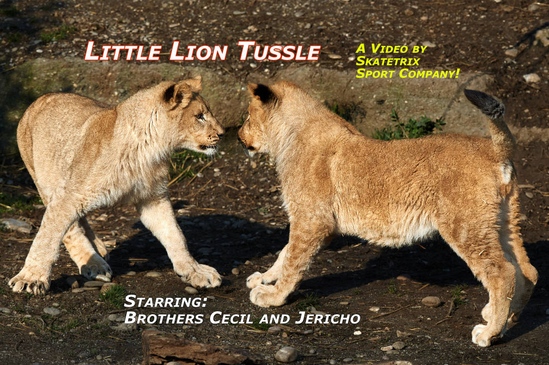 Video: LITTLE LION TUSSLE! We are the two little Lion Brothers CECIL and JERICHO! The future Kings of African Savanna! We both give you the solemn promise! THE VIDEO OF OUR TUSSLE IS THE BIG BLAST!