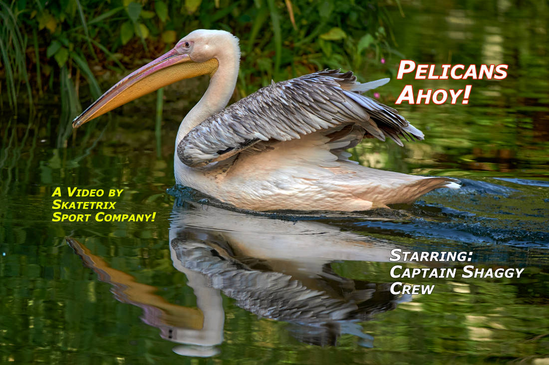 Video: PELICANS AHOY! Ahoy Landlubbers! Captain SHAGGY and his Pelican Crew ready to sail! Enjoy to sail with us!