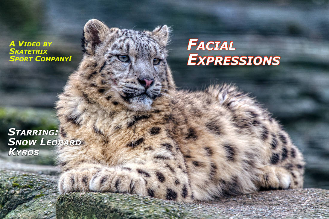 Video: SNOW LEOPARD KYROS - FACIAL EXPRESSIONS! I am the tiny little Snow Leopard Nipper KYROS from the Himalayas with the God-given talent, to enchant you! See my video and I will cast my spell over you! Simply look into my magical eyes and you will be convinced!
