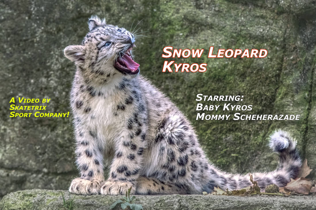 Video: SNOW LEOPARD BABY KYROS! HEAR YE, HEAR YE! I am the tiny little Snow Leopard Nipper KYROS! And my way to stardom has already begun! Because I am starring in my own SKATETRIX VIDEO CLIP! And Mommy SCHEHERAZADE is so proud about her little Sonny KYROS!