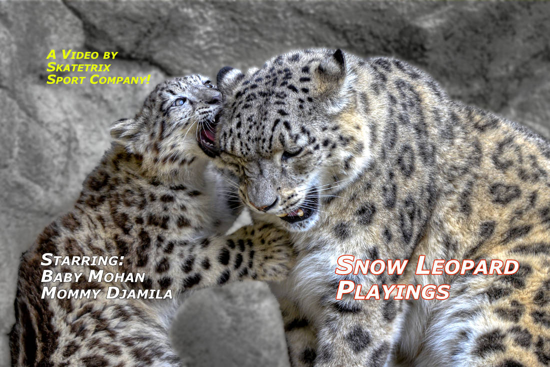 Video: SNOW LEOPARD PLAYINGS! See the tremendous energy of playing little MOHAN! He became a real challenge for his Mommy DJAMILA.Because MOHAN never gives up! He is a real fighter and no quitter! And likes fighting with mommy DJAMILA and daddy VILLY.