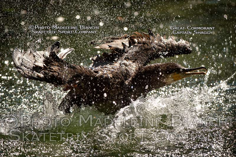 0822_great_cormorant_captain_shaggy_start_water_hdr_D4S3475.jpg