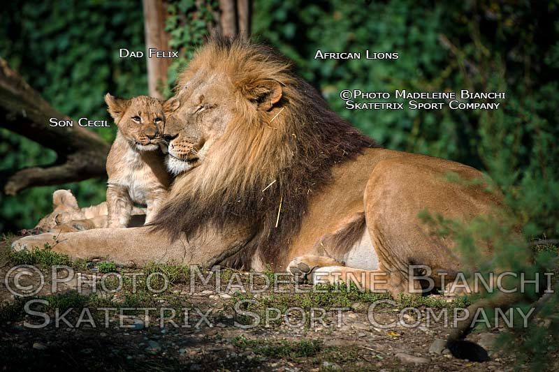 0928_african_lions_dad_felix_son_cecil_peace_hdr_D4S4481.jpg