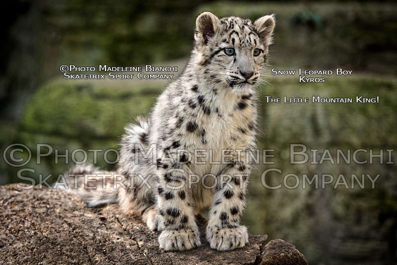 Little Snow Leopard Baby KYROS - Little Mountain King!