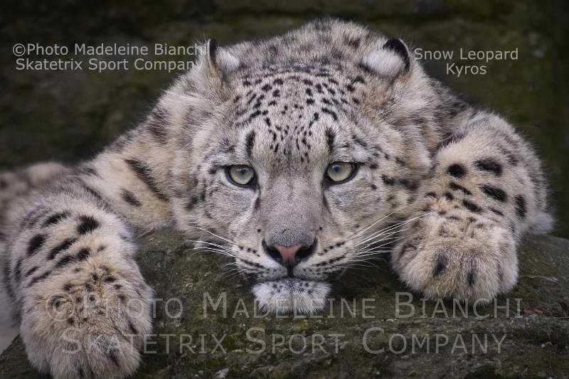Little Snow Leopard KYROS - an endangered animal species!
