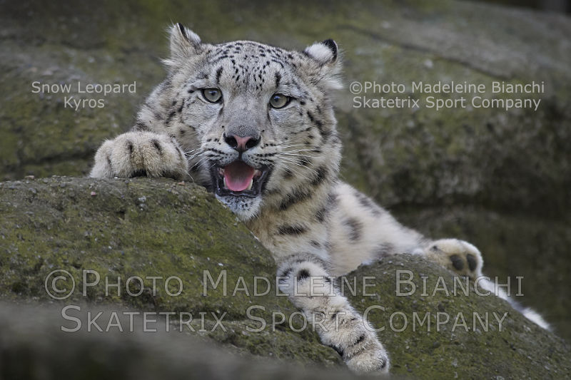 Little Snow Leopard KYROS - An excellent Actor!