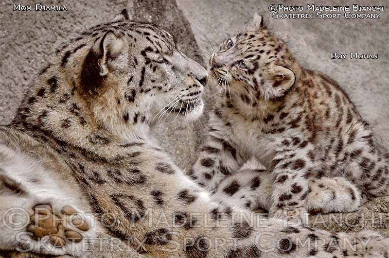 Little Snow Leopard Boy MOHAN with Mommy DJAMILA