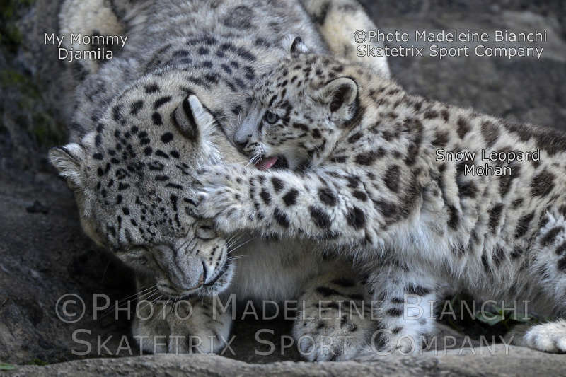 Little Snow Leopard Baby MOHAN with his Mommy DJAMILA